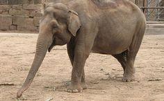 Meet Koshik, the Elephant Who Speaks Korean  How precious are these creatures of God...