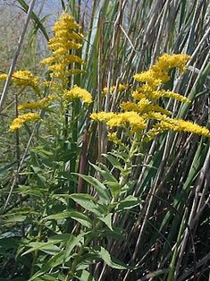 Goldenrod Solidago Spp. plants can be cooked. flowers are edible raw. seeds are edible raw.