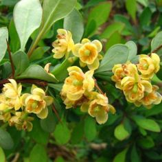 Berberis julianae or more commonly called wintergreen barberry is one of the very best hedge plants you can find.