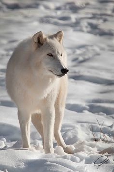 The Arctic wolf  -  a subspecies of the gray wolf (Canis lupus). Arctic wolves inhabit some of the most inhospitable terrain in the world where the air temperature rarely rises above -30 degrees C (-22 F) and the ground is permanently frozen. They are one of the few species of mammals who can tolerate these harsh conditions by Cornell Gill.