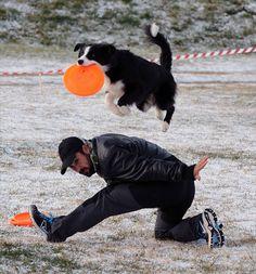 """Este mes vamos a dar a conocer una de las actividades caninas más espectaculares de observar, el """"Disc Dog"""". Básicamente, lo podemos resumir como un deporte en el que una persona lanza un disco o frisbee para que un perro los capture en el aire, llegando a complicar esta sencilla acción hasta límites que rozan lo imposible."""