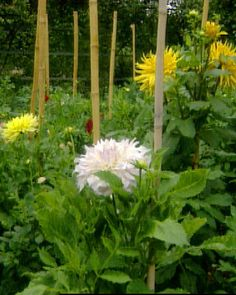 In late spring, after the last frost is gone and the soil is warm, your garden is ready for planting dahlias. These bold, showy flowers will be the center of attention, and will produce abundant blooms for colorful cut arrangements from the end of the summer until late fall. Dahlias grow on giant, bushy plants that take up a lot of room in a flower border, but you might, like Martha, choose to grow them strictly for bouquets in your cutting garden.Since dahlias are native to Mexico, they…