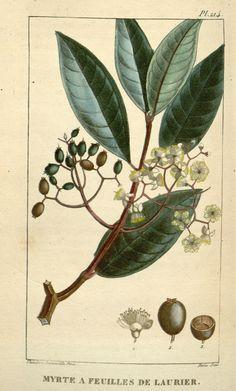 Mytus communis   myrte   myrtle   Flore médicale des Antilles, ou, Traité des plantes usuelles :. Paris :Pichard,1821-1829.. biodiversitylibrary.org/page/2957285