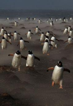 Gentoo penguins on the Sea Lion Island in the Falklands. photo michael lohmann