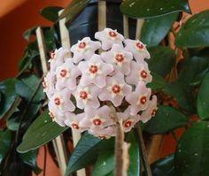 Como cuidar de uma flor de cera. As flores de cera (Hoya carnosa) são plantas trepadeiras originárias da China. Elas ganharam esse nome devido ao aspeto das suas flores, brancas ou rosadas, pequenas e de aparência cerosa, que surgem ...