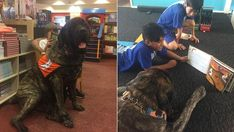 Baron the English Mastiff is the gentle giant helping kids read Old English Mastiffs, English Mastiff Puppies, Mastiff Dogs, Reading Difficulties, Tibetan Mastiff, Morning Show, Kids Reading, Baron, Big Dogs
