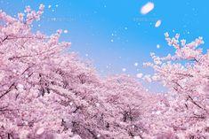 桜吹雪[10169000515]  写真素材・ストックフォト・イラスト素材 アマナイメージズ