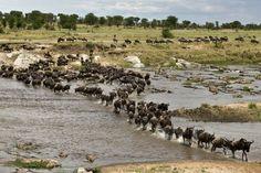 Classic Kenya and Tanzania Migration Safari 2020 , Tanzania Africa, Kenya, Cape Town South Africa, East Africa, Africa Art, The Great Migration, Serengeti National Park, Les Continents, Safari Adventure