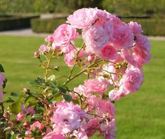 rosier fleuri
