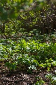 Söödavad umbrohud: kõrvenõges, malts, vesihein, naat, võilill, valge ristik; noored lehed: kirikakar, jänesekapsas, raudrohi, teeleht