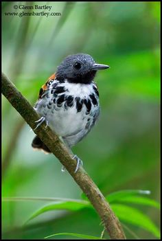 Spotted Antbird (Hylophylax naevioides). Antbirds are generally small birds with rounded wings and strong legs. They have mostly sombre grey, white, brown and rufous plumage, which is sexually dimorphic in pattern and colouring. Some species communicate warnings to rivals by exposing white feather patches on their backs or shoulders. Most have heavy bills, which in many species are hooked at the tip.