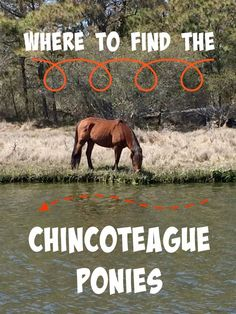 Where to find the Chincoteague Ponies