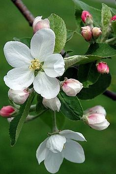 Pommiers en fleurs                           (via Brabourne Farm: Love …. Crab Apple Blossoms)