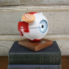 Eye Teaching Model, $194, now featured on Fab.