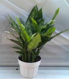 Product: Air Purifying House Plants  Company: eBay Green  -These houseplants aren't just nice for decoration. The plants listed here not only oxygenate your home, but they help remove toxins from the air! I would love to have these plants to breathe easy and live happy! #greendorm