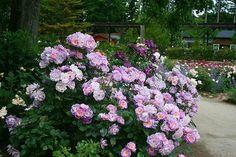 那須コピスガーデンの薔薇達と那須塩原市Kさん宅の薔薇 - ノンノの庭のお花達