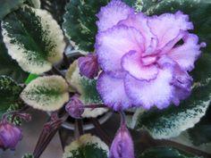 African Violet Fredette's Risen Star