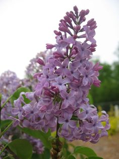 GROW IT! Tiny Dancer™ is compact and a true DWARF lilac! Its remarkable heat tolerance makes it an ideal choice, even in Zone 8! Violet-purple buds open into LAVENDER flowers in spring. Blooms measure 4 to 5 inches and their fragrance guarantees a memorable SCENT! Height: 5'/Width: 5'; Hardiness Zone: 4-8. May all your gardens grow!