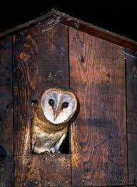 Tips for building a barn owl nest box.