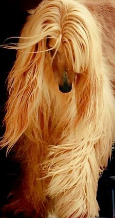 Magnificent Afghan Hound, Pet Dogs, Dogs And Puppies, Dog Cat, Most Beautiful Dogs, Animals Beautiful, Photo Animaliere, Tibetan Terrier, Tier Fotos
