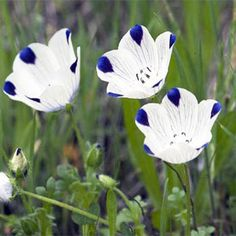 Five Spot (Nemophila maculata)...good annual for dry areas