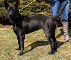 URGENT! PLEASE HELP SAM!!!! GASSING SHELTER FULL!!!! Pa/WV....2843-Sam-Shep  mix- female-1-2yrs-spayed 35 – 40 lbs-SHE  IS IN A RURAL GASSING SHELTER IN BECKLEY WEST VIRGINIA- TRANSPORT IS AVAILABLE FOR APPROVED OUT OF STATE ADOPTIONS. PLEASE CONTACT ME FOR DETAILS, PLEASE VIEW ALL DOGS/PUPPIES ON THEIR...