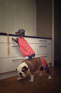 omg my future. we want a bulldog and dachshund. Funny Dogs, Funny Animals, Cute Animals, Animals Dog, Cute Puppies, Cute Dogs, Animal Pictures, Cute Pictures, Bulldogs