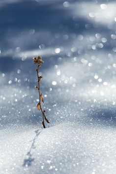 Imagine: Unexpected beauty. Weed in sparkling snow via Flickr