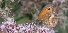 Algemene dagvlinders | Natuurpunt / Oranje zandoogje