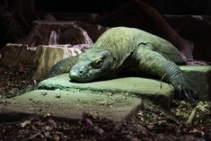Can You Have a Komodo Dragon as a Pet or Is it Dangerous? Komodo Dragon, Pet Life, Canning, Pets, Animals, Monsters, Dragons, Animales, Animaux