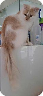 St. Louis, MO - Domestic Mediumhair. Meet Bonnie, a cat for adoption. http://www.adoptapet.com/pet/16636154-st-louis-missouri-cat