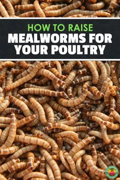 Mealworms can become an expensive treat for your poultry or pets. Learn how to raise mealworms at home and save a lot of money with our complete how-to guide!