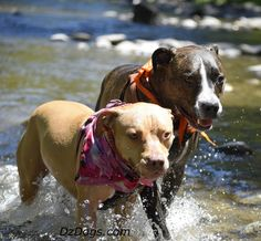 DZ's Adventures Water Fun at the South Umpqua River! Hiking Dogs, Dog Treat Recipes, Pit Bulls, Health And Safety, Dog Treats, Dog Training, River, Adventure, Pets