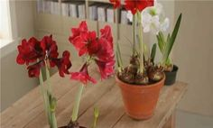 Watch Growing Amaryllis in the Better Homes and Gardens Video