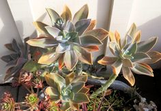 Late to the Garden Party: My favorite plant this week: x Graptoveria 'Fred Ives'