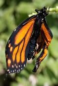 OE (protozoan parasite that infects Monarchs.) How to detect if your Monarch has been infected