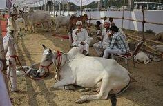 Ganaderos indios beben té en un recinto con sus vacas y toros antes de hacerlos caminar por una rampa durante un concurso de belleza bovina en Rohtak, India, el sábado 7 de mayo de 2016. Cientos de vacas y toros caminaron por la pasarela en este pueblo del norte de India para participar en el certamen, cuyo objetivo es promover la crianza de ganado autóctono y crear conciencia sobre la salud animal. (Foto AP/Altaf Qadri)