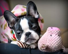 Sweet dreams Furiends. Love & hugs.  #LilyBearK #bostonterrier #bostie #bostonterriersofinstagram #dogsofinstagram #animalbuzz #flatnosedogsociety #terriercvlt #btcult #bostonsarebest #bostonterrierlife #bostonterrierlove #bostonterriersrule #bostonterriersrock #bostonterriersforever #bostonterrier_feature by lilybeark