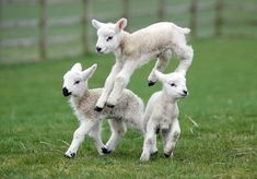 I send you forth as sheep in the midst of wolves.be wise As serpents and harmless As doves Cute Baby Animals, Farm Animals, Animals And Pets, Funny Animals, Lamb Pictures, Animal Pictures, Cute Goats, Cute Sheep, Baby Sheep