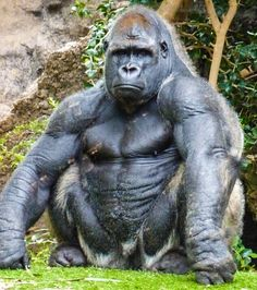 Silver back gorilla 🦍 muscular guy i can say. Nature Animals, Animals And Pets, Baby Animals, Funny Animals, Cute Animals, Strange Animals, Beautiful Creatures, Animals Beautiful, Silverback Gorilla