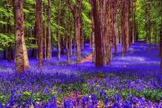 Bluebells on a forest, England