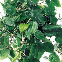 Mini Adam Ivy One Of Over 400 Varieties From Exotic