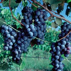 America's favorite grape — available in its original form with seeds. If you love grape juice, then you love Concords! The fruit makes full-bodied juice or your own house wine. These vines produce abundant crops that have also been used to make prize-winning jams and jellies. Exceptional hardiness, vigor and disease resistance. Heat-tolerant. Ripens in late September. Self-pollinating.