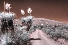 Yucca dagger flat big bend west texas spanish dagger infrared by Jane Linders Infrared Photography, 5 Image, West Texas, Plant Illustration, Types Of Art, Wood Print, Great Photos, Fine Art America, Craft Supplies