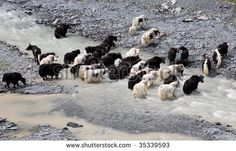 Find Herd Yaks Passes Through Mountain River stock images in HD and millions of other royalty-free stock photos, illustrations and vectors in the Shutterstock collection. Thousands of new, high-quality pictures added every day. Altai Mountains, Animal Alphabet, Prepositions, The Other Side, Himalayan, Photo Editing, River, Stock Photos, Places