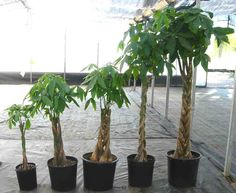 PACHIRA AQUATICA (Money Tree) EVERY CHILD THINKS THEIR PARENTS HAVE ONE OF THESE GROWING IN THE BACKYARD.. LOL Pachira Aquatica, Money Trees, Feng Shui, Backyard, Parents, Middle, Child, Gardening, Image