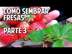 Cultivo de fresas - Parte 3 - Como tener mayor cantidad de fresas! @cosasdeljardin - YouTube