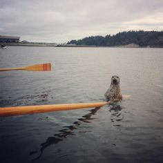 Pacific Northwest, harbor seal holding onto a wooden paddle :) THIS SUMMER (2014) a seal came right up to two of my daughters out boogie boarding in Everett