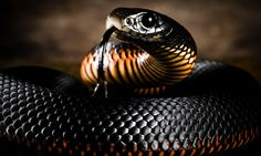 Red Belly Black By Ozzieimages On Flickr Black Mamba Snake Snake Wallpaper Mamba Snake