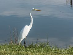 """Great Egret ~ Ardea alba ~ Huron River Watershed - """"I have always believed, and I still believe, that whatever good or bad fortune may come our way we can always give it meaning and transform it into something of value."""" ~ Hermann Hesse"""